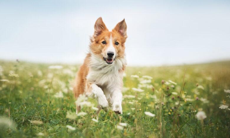 giardia nel cane