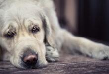 dermatite cane